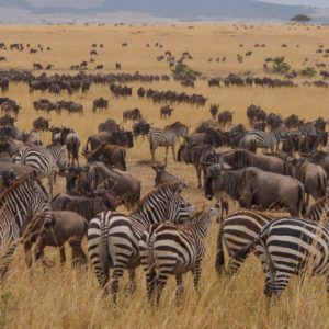 Migration Safari in Mara River Serengeti Park