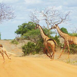 Tanzania Voyage 7 Days safari